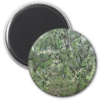 Aimant L'olivier s'embranche avec les premiers bourgeons