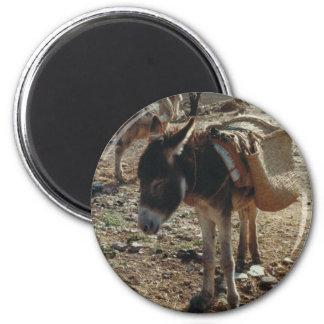 Aimant marocain de mule