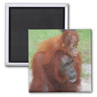 Aimant Mère et bébé d'orang-outan sur l'île du Bornéo