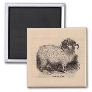 Aimant Moutons du 19ème siècle de montagne d'impression