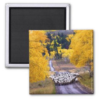 Aimant Moutons sur la route de campagne