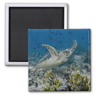 Aimant Natation de tortue de mer de Hawksbill