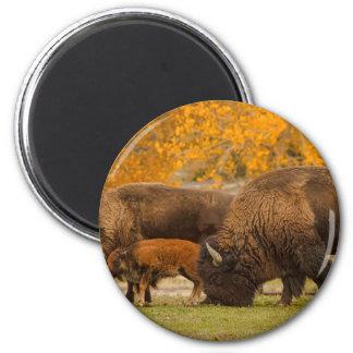 Aimant Nation de famille de bison