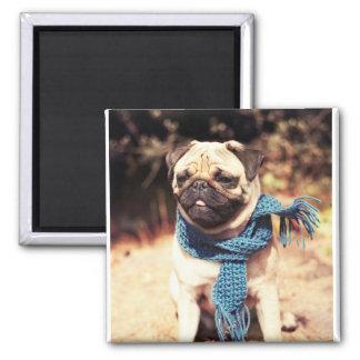 Aimant Portrait mignon de chien de carlin avec l'écharpe