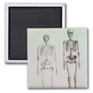 Aimant Squelettes des australopithèques Boisei