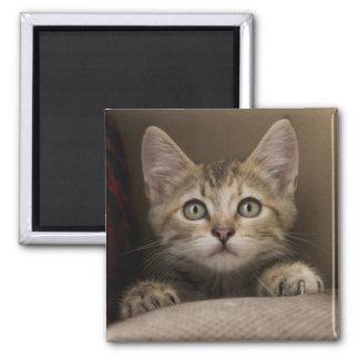 Aimant Un chaton tigré très doux
