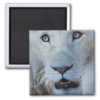 Aimant Un lion blanc en Afrique du Sud