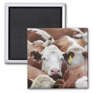 Aimant Vaches dans un corral