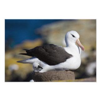 albatros Noir-browed Thalassarche Photographie