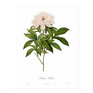 Albiflora de Peonia Carte Postale