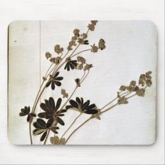 Alchemille, d'un herbier tapis de souris