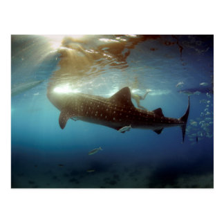 Alimentation de requin de baleine carte postale