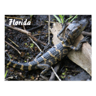Alligator de bébé en carte postale de la Floride