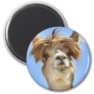 Alpaga avec les cheveux fous aimant