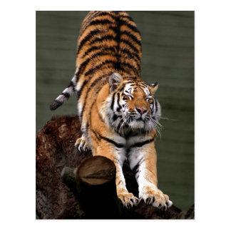 Altaica du Tigre de Panthera de description, zoo Carte Postale