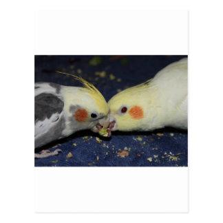 Amour de Cockatiel Carte Postale