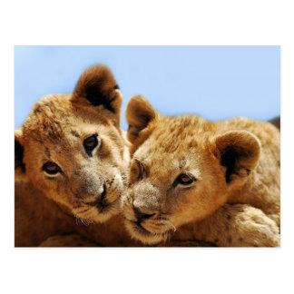 Amour de lion de bébé carte postale