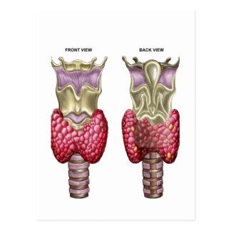 Anatomie de la glande thyroïde avec le larynx et carte postale