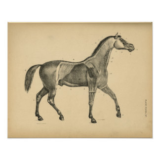 Anatomie de muscle de cheval 1908 copies vintages poster