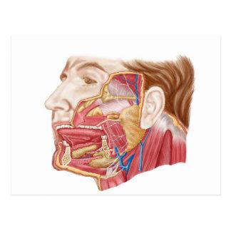 Anatomie des glandes salivaires humaines carte postale