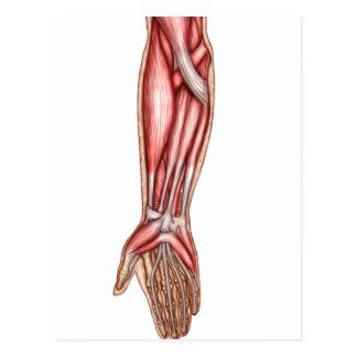Anatomie des muscles humains 2 d'avant-bras cartes postales