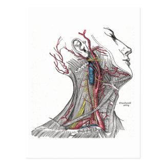 Anatomie du cou carte postale