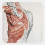 Anatomie humaine ; Muscles du torse et de l'épaule Sticker Carré