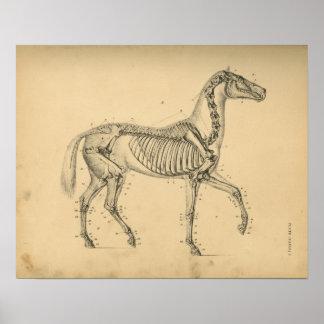 Anatomie squelettique de cheval 1908 copies poster