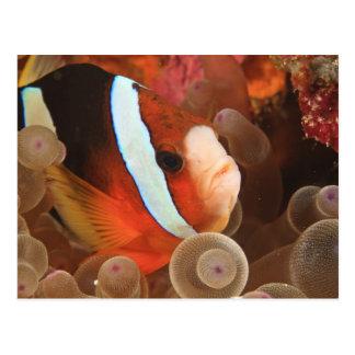 anemonefish, plongée à l'air chez Tukang 3 Carte Postale
