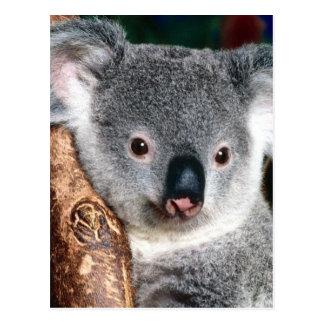 Animal de pays de l'Australie d'ours de koala à Cartes Postales