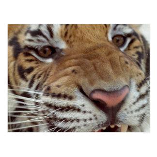 Année de la carte postale de tigre