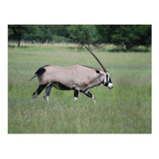 Antilope de Gemsbok Carte Postale