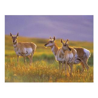 Antilope de Pronghorn au Montana Carte Postale
