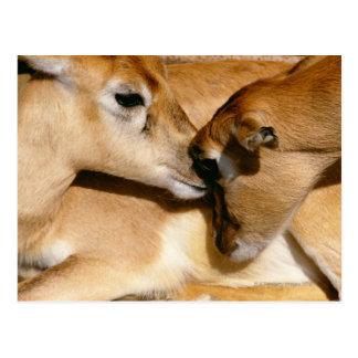 Antilope et faon africains carte postale