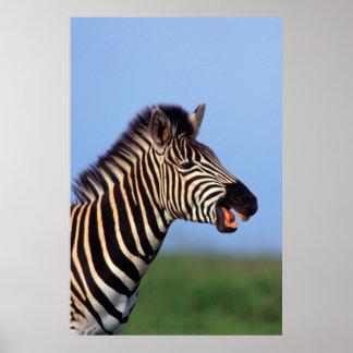 Appeler de zèbre de plaines (Quagga d'Equus) Poster
