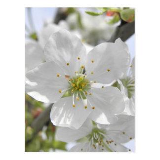 Apple fleurissent carte postale