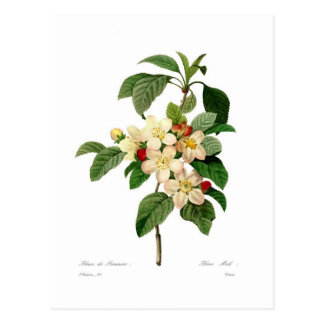 Apple fleurissent carte postale