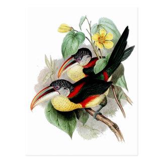 Aracari Boucle-crêté Carte Postale