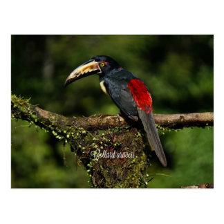 Araceri de collard, oiseau tropical carte postale