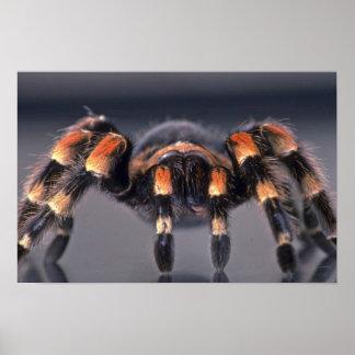 Araignée effrayante de tarentule posters