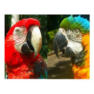 Aras colorés, carte postale du Trinidad