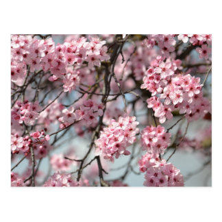 Arbre de fleurs de cerisier cartes postales