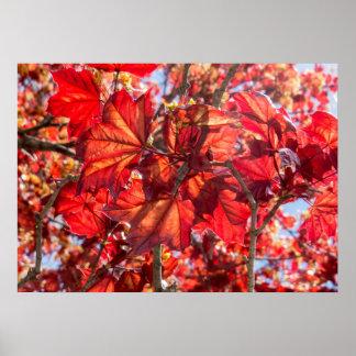 Arbre d'érable rouge naturel poster