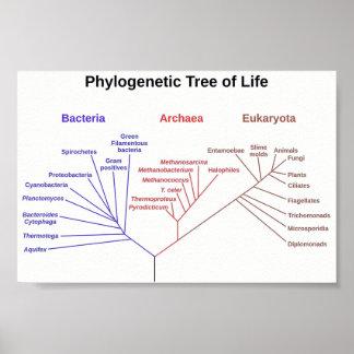 Arbre phylogénétique poster