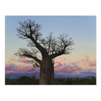 Arbres de baobab, Berenty, Toliara, Madagascar Cartes Postales