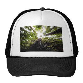 Arbres de séquoia avec le tronc moussu casquette