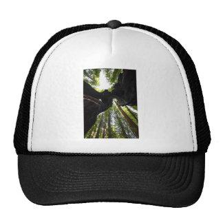 Arbres et tronc de séquoia casquettes