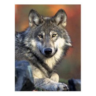 Art de loup gris cartes postales