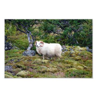 Art islandais de RAM Impression Photo