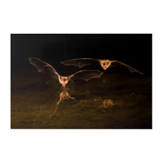 Art Mural En Acrylique Deux battes volant au-dessus de l'eau, Arizona